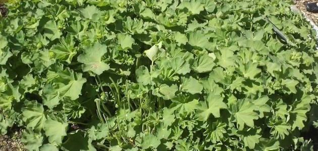 اعشاب النفاس لتنظيف الرحم Herbs Parsley