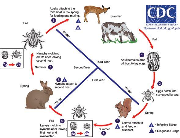 tick-life-cycle