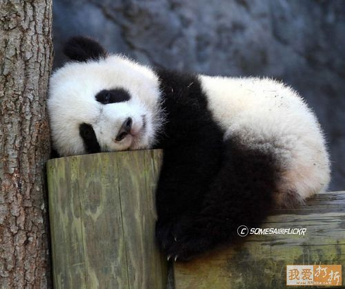 Tired Baby Panda