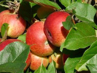 Malus domestica 'Elstar', (Elstar appel) Malus domestica 'Elstar', laagstam (Elstar appel, laagstam appelboom wortelgoed)  De latijnse naam van de appelboom Elstar is Malus domestica Elstar.  Elstar is een friszure handappel, rijptijd september. Weinig gevoelig voor ziektes makkelijk in onderhoud. Ook te verwerken in gebak of salades. Zelfbestuivend, uitstekende smaak.