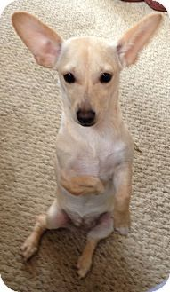 San Diego, CA - Chihuahua/Corgi Mix. Meet Faith a Puppy for Adoption.