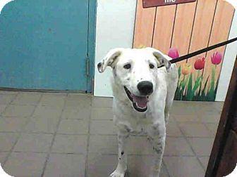 Albuquerque, NM - Border Collie Mix. Meet SNOWBALL, a dog for adoption. http://www.adoptapet.com/pet/16993493-albuquerque-new-mexico-border-collie-mix