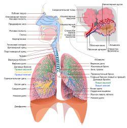 Дыхательная система человека — Википедия