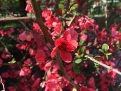 3 m kadar boylanabilen, kışın yapraklarını döken, sık dallı, yaygın ve bodur gelişen bir çalı türüdür. Dalları dikenlidir.  Yapraklar 3-5cm uzunlukta, oval ve kenarları testere dişlidir. Yaprakların üst yüzü parlak koyu yeşil, alt yüzü açık renkli, tüysüz ve sapı kısadır. Erken ilkbaharda mart-nisan aylarında yapraklanmadan önce çiçek açar. Çiçekler birkaç tanesi bir arada buket halinde, koyu kırmızı, kızıl, pembe, turuncu veya beyaz renkte olabilir. Nadiren kış aylarında da çiçek açabilir…