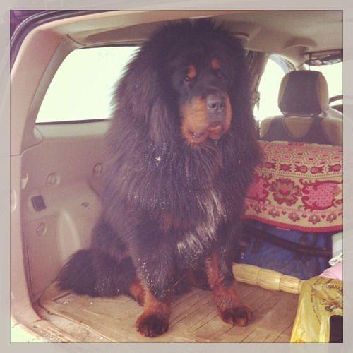 #dog  #mimimi  #kawaii  #bear #winter  #snow это тибетский мастиф