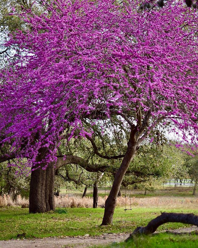 Spring Is In The Air The Weather Is Beautiful And The Lord Is Good Spring Break Sight Cherry Blossom Tree In Texas San Antonio Texastrees Purple Floweri