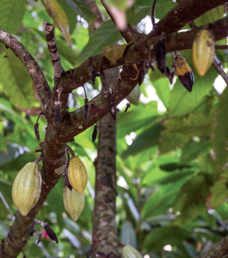 Não nativo da região, o pé de cacau se adaptou ao clima e ao solo do lugar, oferecendo frutos aos moradores de setembro a fevereiro.