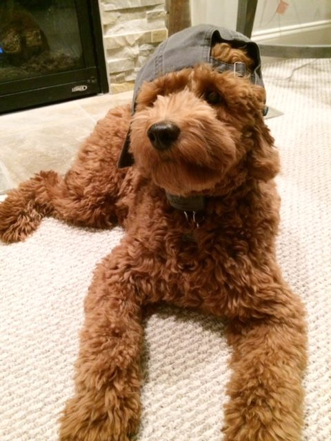 we sell goldendoodle puppies as well as well as poodle puppies.We produce quailty goldendoodle puppies with a 2yr guarantee.We also have alot of information on the all new dog breed goldendoodles. Poodles are wonderful family pets.Love your dog and it wi