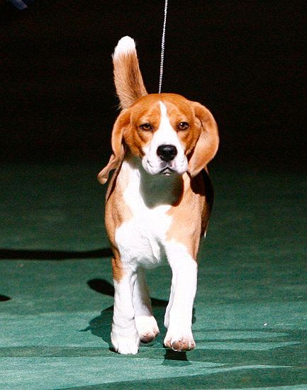 Uno, the Beagle, the big winner at Westminster Dog show 2012.