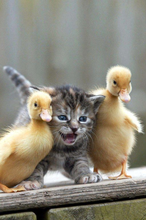 A pair of ducklings play kitty in the middle.