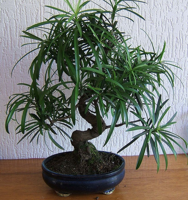 Podocarpus (Japanese Yew) - one of the coolest bonsai I have seen