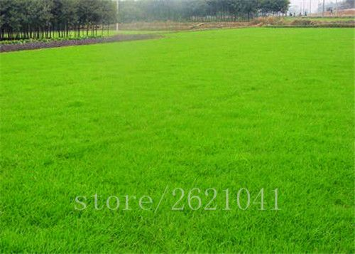 500pcs/bag Zoysia Grass Seeds Beautiful Plant For Home Garden
