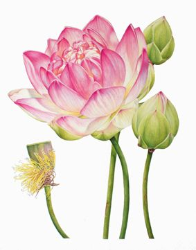 Heidi Willis-Lotus2  -The botanical artwork of Australian artist Heidi Willis is well worth a look. The detail and beautiful rendering of the subjects reveal a mastery of  botanical illustration rarely seen. Heidi's work has appeared in presitgeous competitons such as the Waterhouse Natural History Art Prize