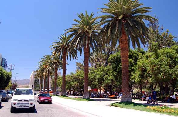Atractivas palmeras - Ovalle - Coquimbo  - Chile - httpbit.ly7mYC4f