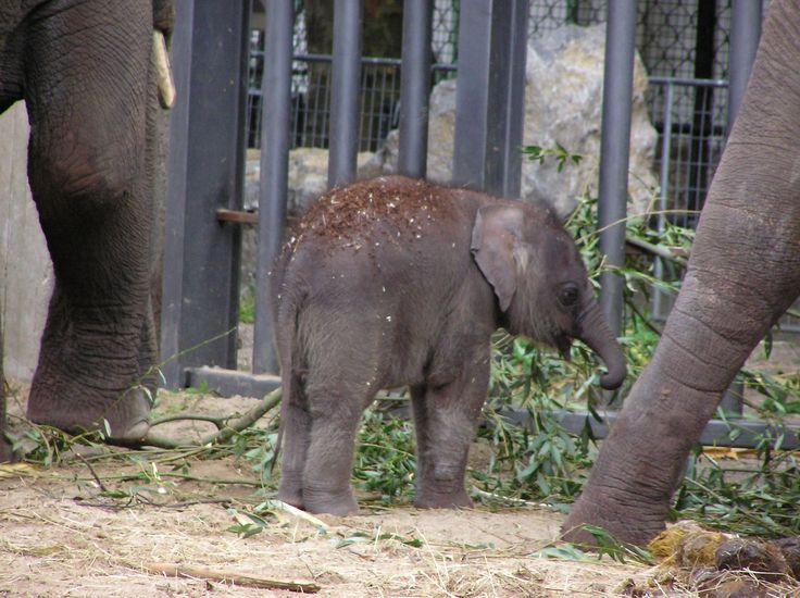 Aziatische olifant (Elephas maximus) (2005)