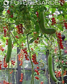 pepinos, tomates hidropónicos hidropónico, pimientos hidropónicos