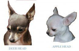 Apple Head Chihuahua - Page 2 [Chihuahua puppies]