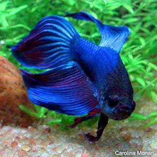My litle fish called Bob is a Betta fish.
