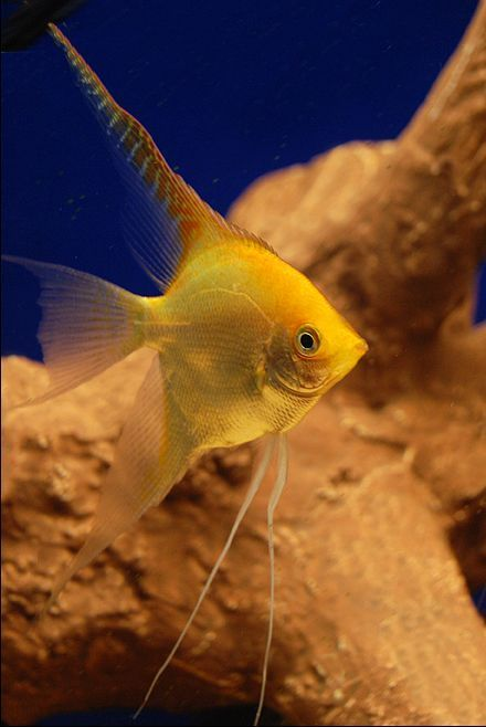 cool Tropical Freshwater Angelfish - Fresh & Saltwater Fish by http://www.dezdemon-exoticfish.space/freshwater-fish/tropical-freshwater-angelfish-fresh-saltwater-fish/