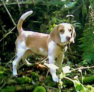 Full grown mini beagle