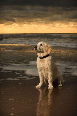 #Golden #Retriever at the beach