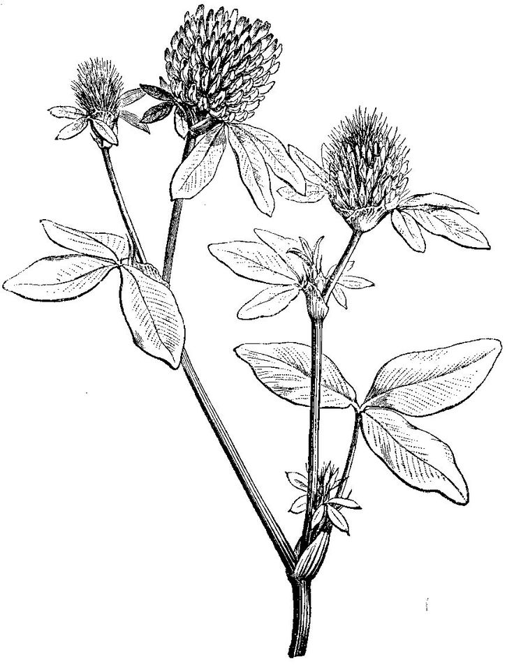 Botanical Flower Line Drawing : Line drawings of vintage flowers pixshark