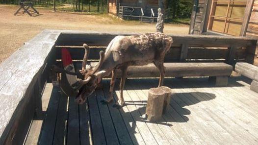 Reindeer in summer time. Poor coat and lot of horseflys. The photo was taken at Luosto, Kopara reindeer farm's Café terrace.