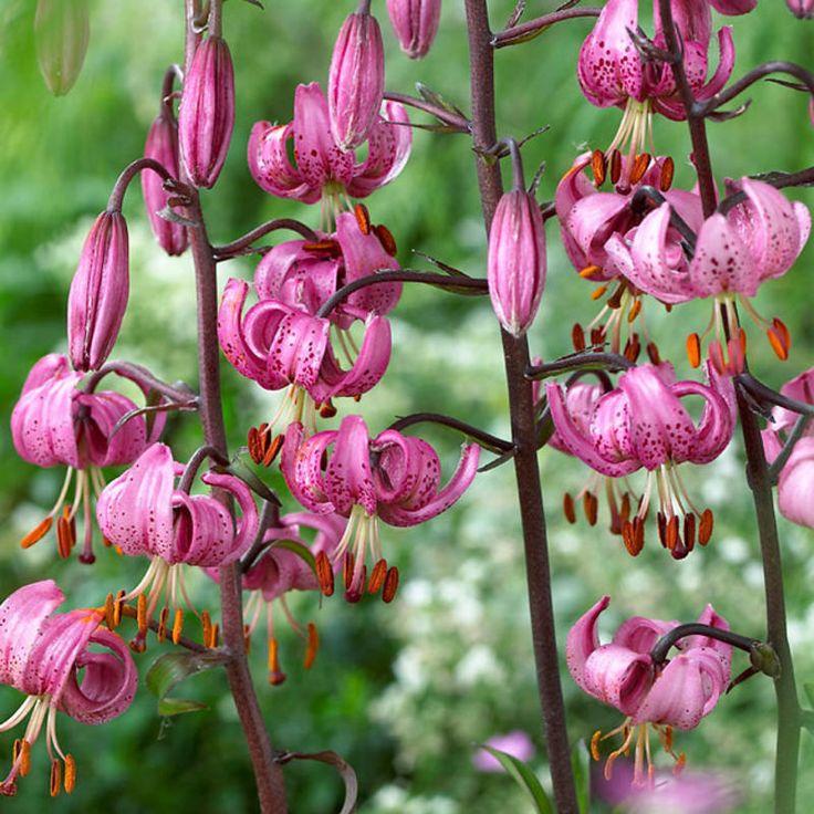 Varjolilja roosa