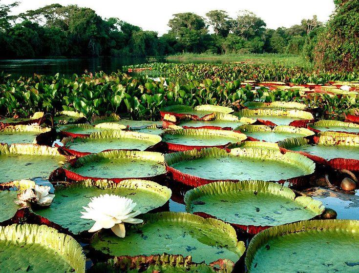 Nativa da região amazônica, a planta  da família da Nymphaeceae é considerada uma das maiores plantas  aquáticas do mundo. Conheça abaixo ...