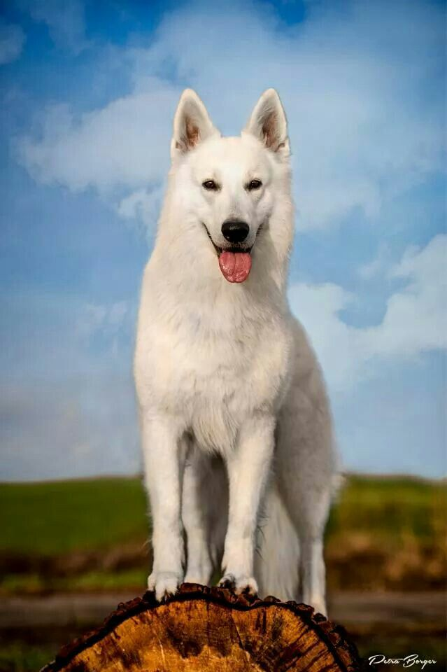 White German Shepherd... Beautiful! This is what my dog will look like when she is full grown.