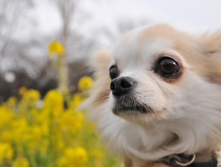 もうすこし笑顔いただけませんかね えなんで笑ってるけど すすみません #食べ過ぎた翌朝は眠い #dekachiwa #chihuahua #dog #dogoftheday #dogofthedayjp #dogsofinstagram #チワワ #ふわもこ部 #chihuahuadog #chihuahuaofinstagram #animal #onlychihuahua  #しっぽふぁさ部