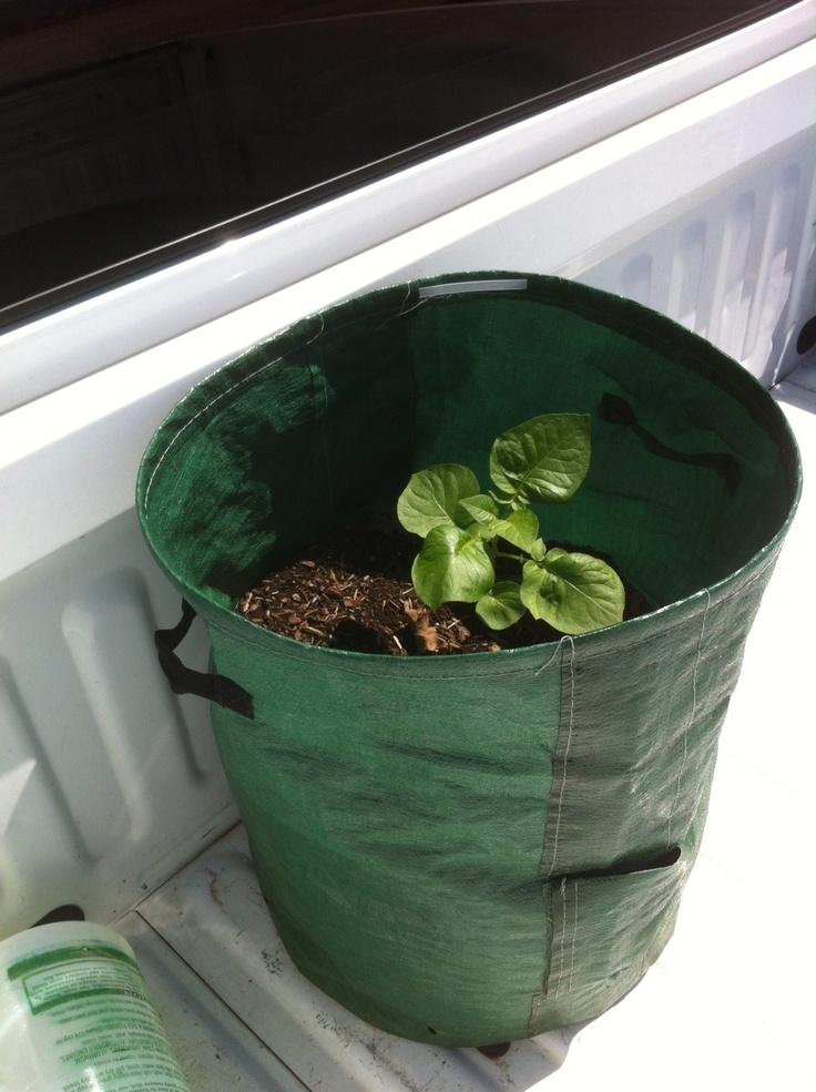 The Resilient Potato Plant