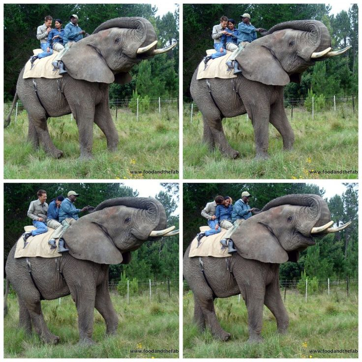 The various stages of acceptance - proposal on an elephant