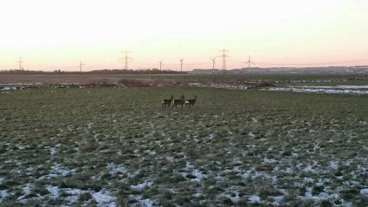 Deer in the morning, January 2015