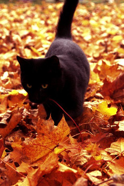 Black cat + fall leaves