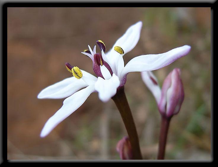 Winter - Perth Hills - Wildflowers of Western Australia