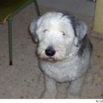 Antiguo Perro de Pastor Inglés - Bobtail