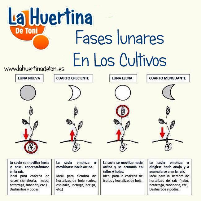 La Luna En La Agricultura Ecologica , las fases lunares nos interesan para sembrar, para podar, para injertar y para todo tipo de trabajos del huerto.
