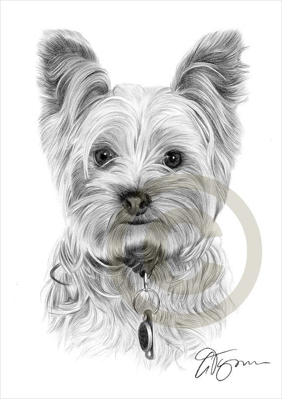 Toy dog yorkshire terrier pencil drawing print a4 size - Dessiner un yorkshire ...