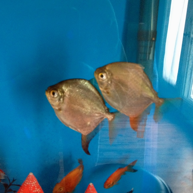 1000 images about 150 gallon aquarium on pinterest for Silver dollar fish for sale