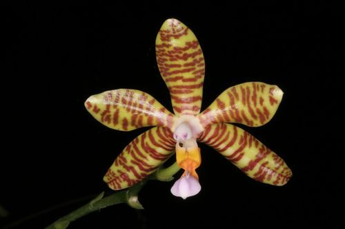 Phalaenopsis fasciata jest gatunkiem rodzaju Phalaenopsis. Kwitnie od jesieni do zimy wieloma pachnącymi kwiatami o średnicy 5 cm.