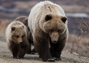Grizzly bears in Yellowstone Park may soon be at risk of hunting and other threats to their survival. Urge government officials to uphold grizzly bear protections to prevent the species from becoming endangered once again.