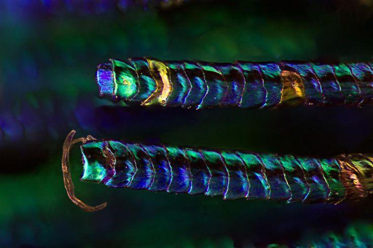 Павлиньи перья в серии макрофотографий от Уолдо Нелла