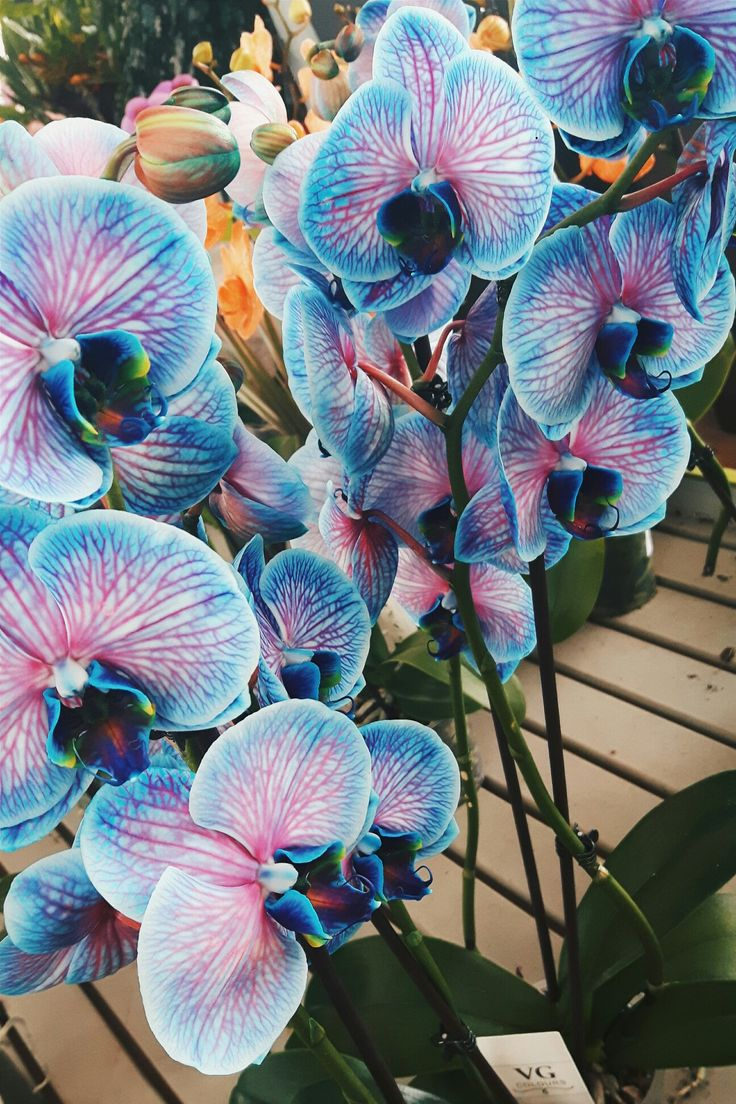 Orchidee Blu. #orchidee #blue #pink #flower #love #amazing #vsco #photo #vanessarisoli
