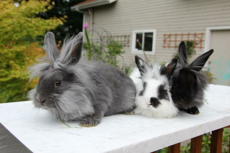 Outdoor Baby Playpen This Bunny Is One Of Our Long Haired Lion Headed Greys