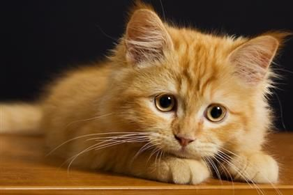Cat Breeds That Stay Small - Pet360 Pet Parenting Simplified