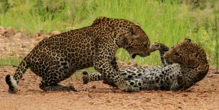 Leopards fighting in March 2015 in the South Luangwa, Zambia - from Norman Carr Safaris and Jim&Rachel Lancaster