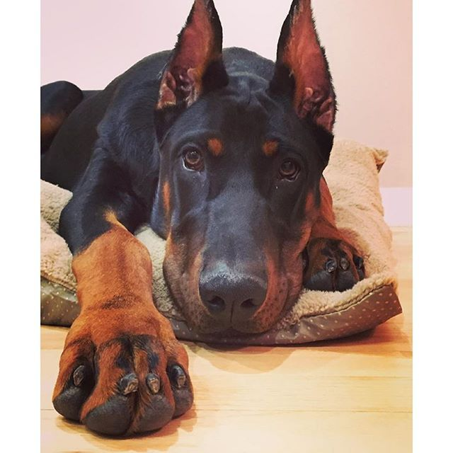 Those paws tho...... #Doberman