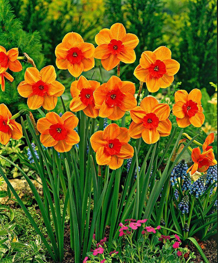 narcissus - December birth flower