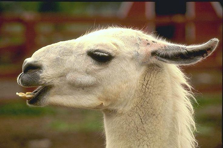 29 Best Llama Images On Pinterest